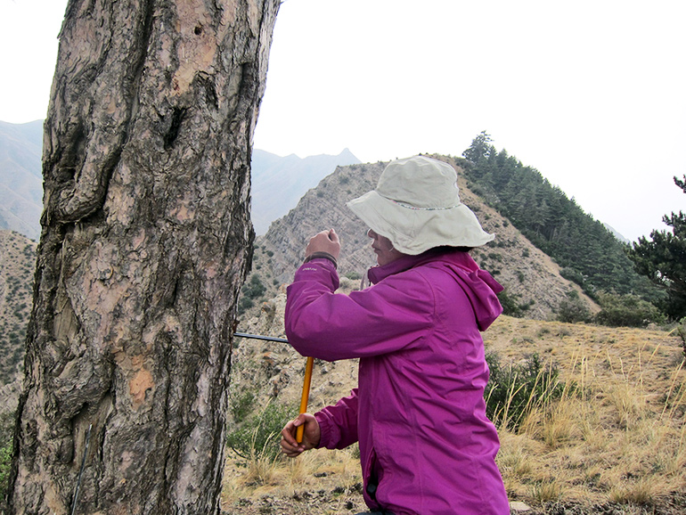 researcher collecting tree core