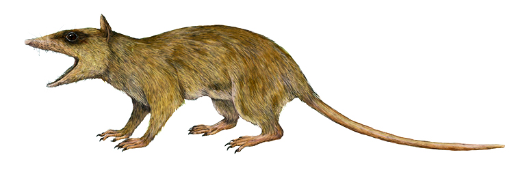 Illustration of Alphadon, a small marsupial relative from the Cretaceous Period.