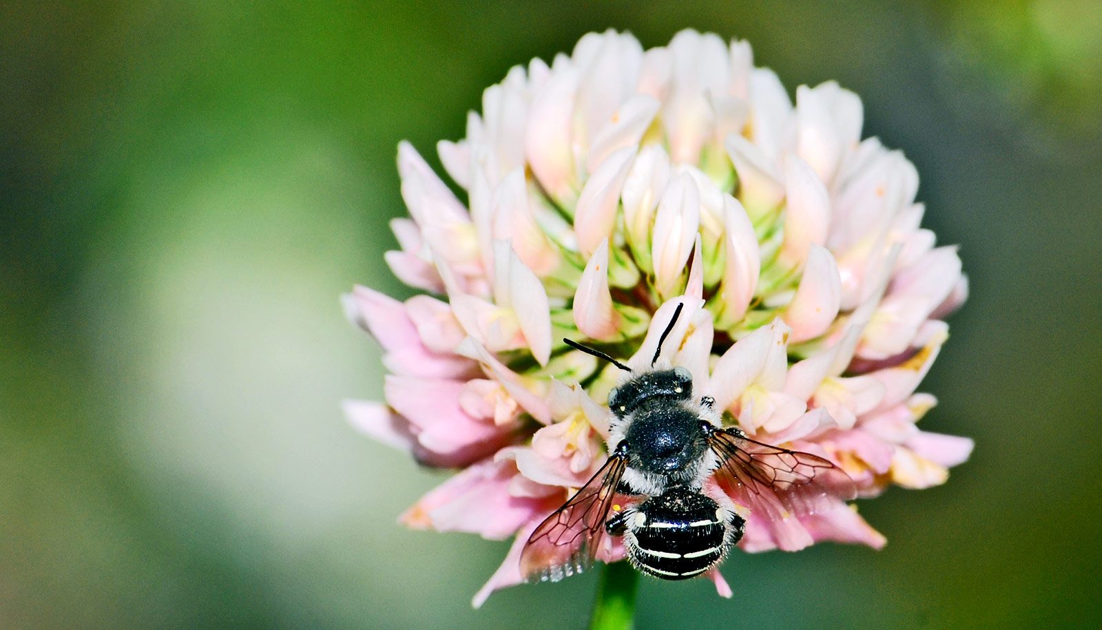 5 ways a 'lazy' lawn makes pollinators happy