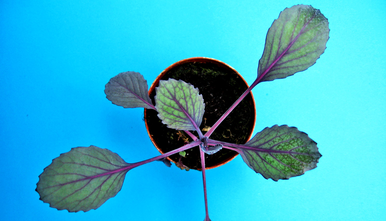 'Family tree' could improve kale and its relatives
