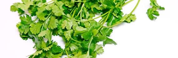 bunch of cilantro on white