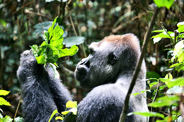 lowland gorilla in an intact forest landscape in the Republic of Congo