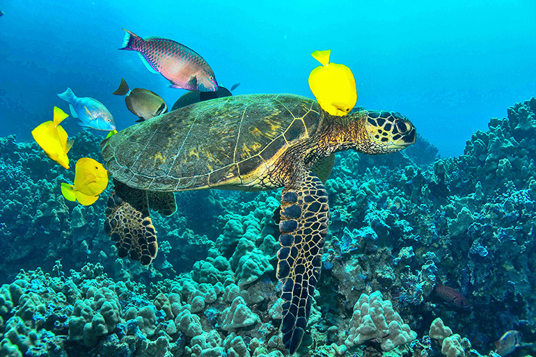 A green sea turtle passes through a cleaning station in Hawaii