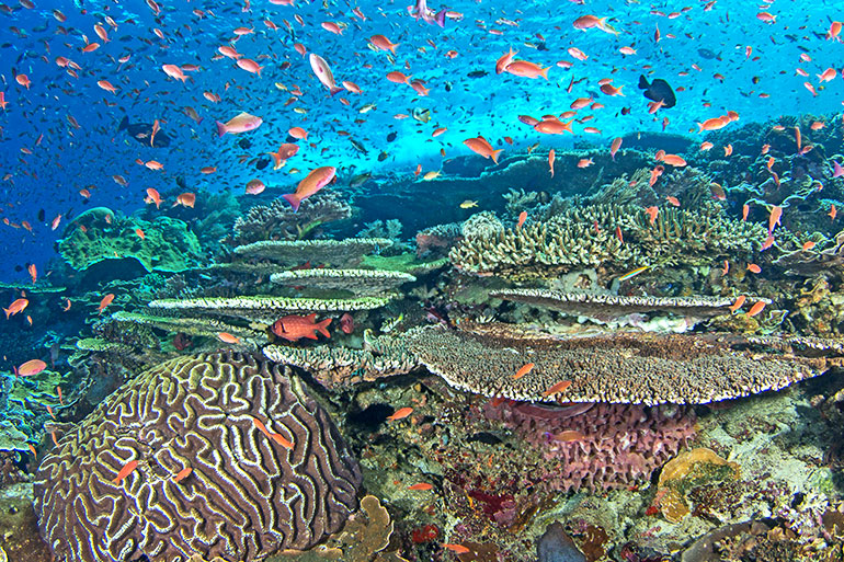 A healthy reef in Indonesia teems with life
