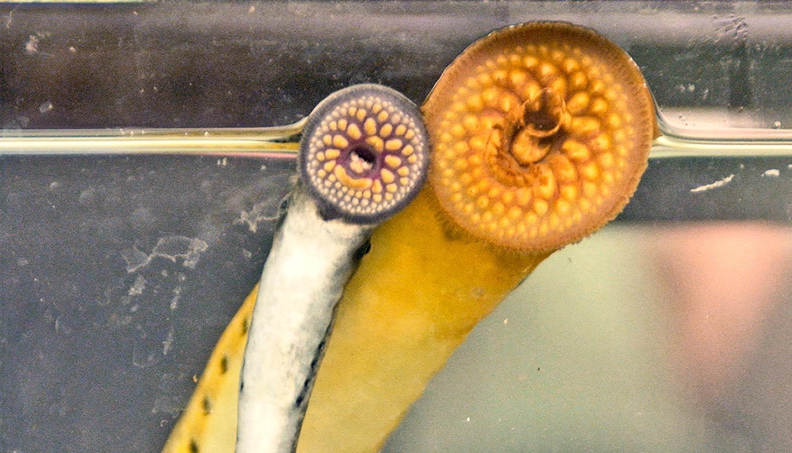 Compound in semen is sea lamprey 'cologne'