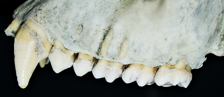 The image shows a close-up of gorilla teeth.