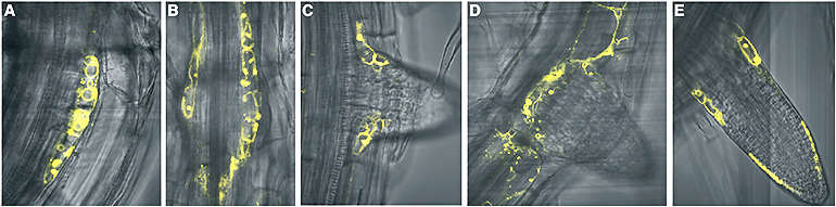 An image shows different stages of TOB1 expression during later root development.