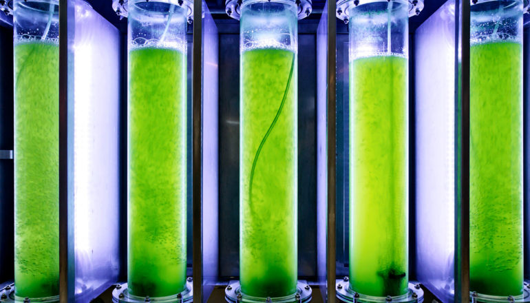 The image shows five tubes filled with green algae for the production of biofuel. (algae concept)