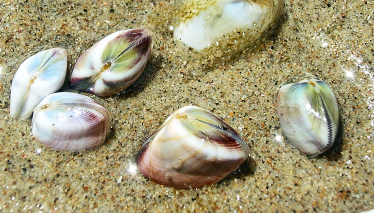 The image shows clams at Santa Claus Beach sitting in the sand. (beaches concept)