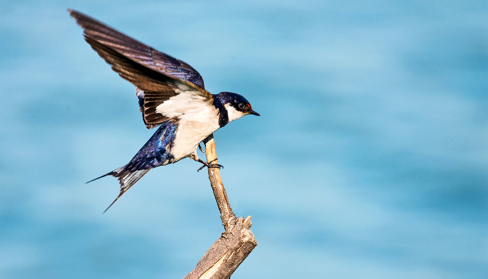 How Birds Perch Could Lead To Nimbler Flying Robots Futurity