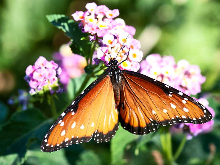 An orange butterfly perches on pink flowers
