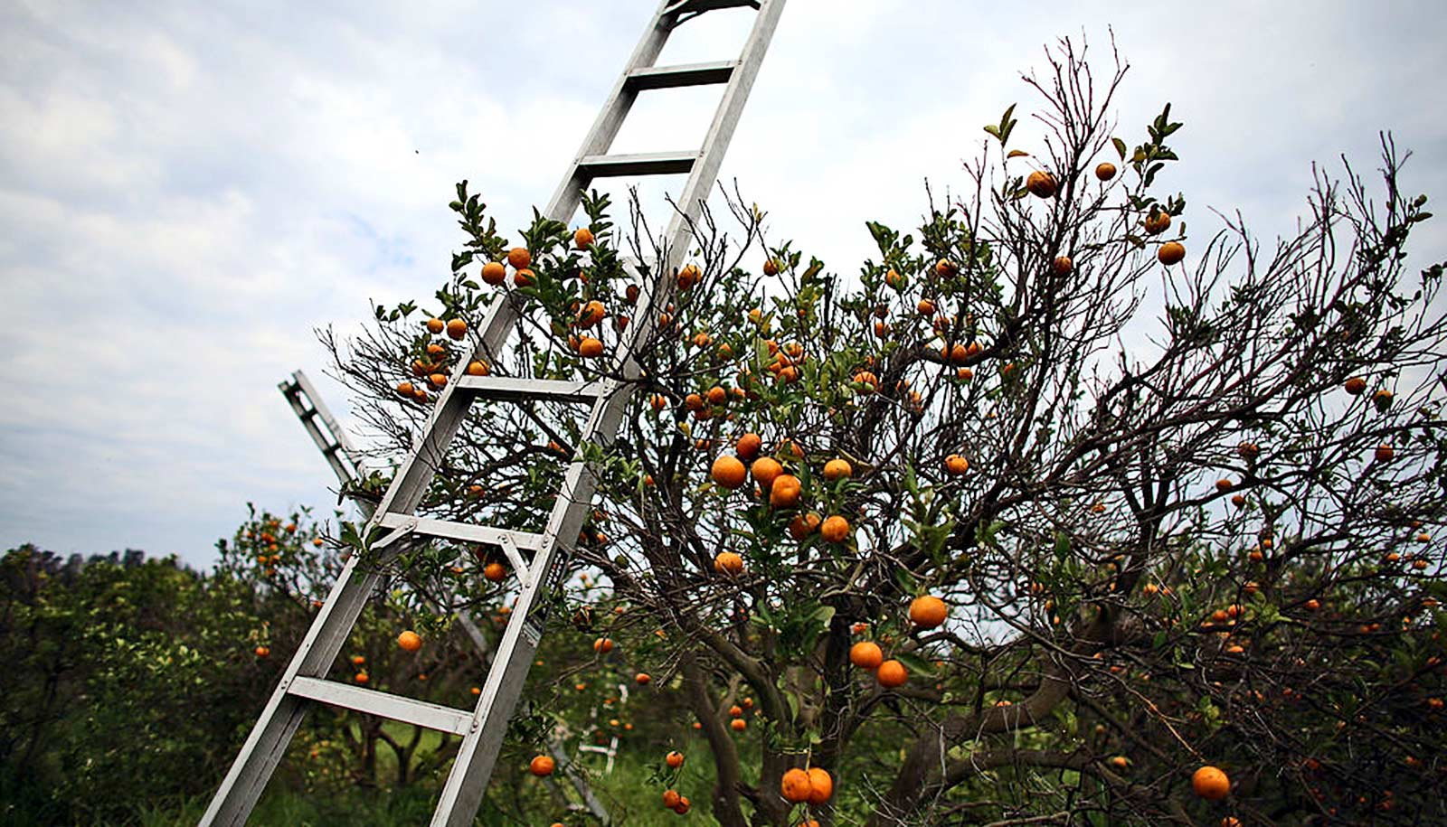 System finds 130 compounds that could save citrus