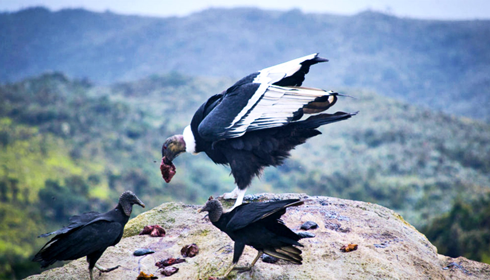 The large black birds eat meat while standing on a rock above a valley with mountains in the background