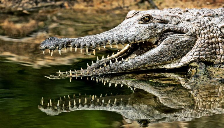The image shows a crocodile with its mouth open and teeth visible, reflected in water below the crocodile. (crocodiles concept)