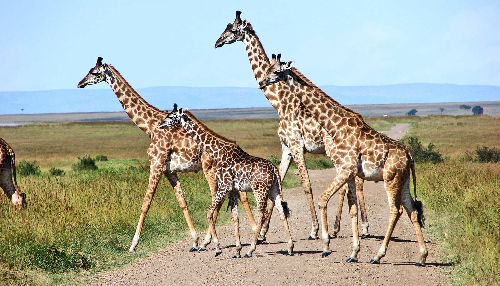 Babies change where groups of giraffes hang out