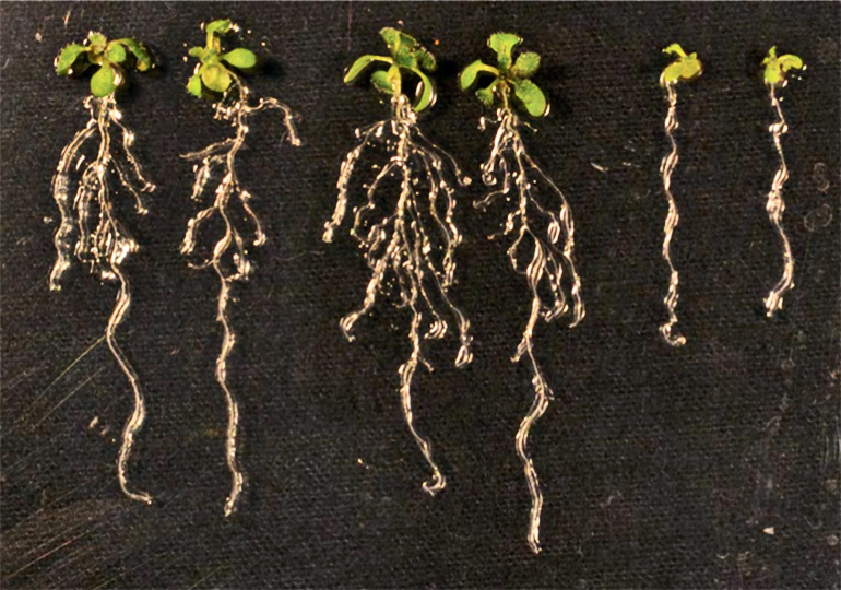 An image shows lateral roots branching out like fingers from model plants.