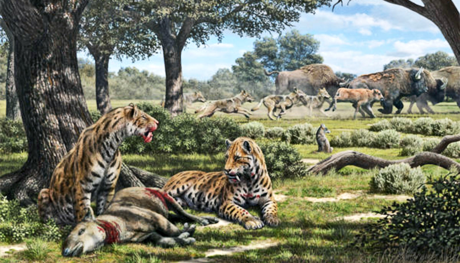 The illustration depicting the hunting behavior of La Brea carnivores, including saber-toothed cats, dire wolves, and coyotes.