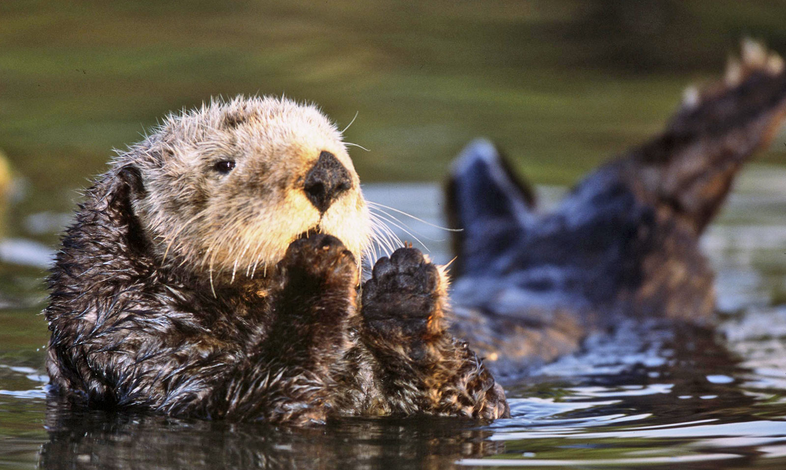 Don't Kill Sea Otters With Cat Poop