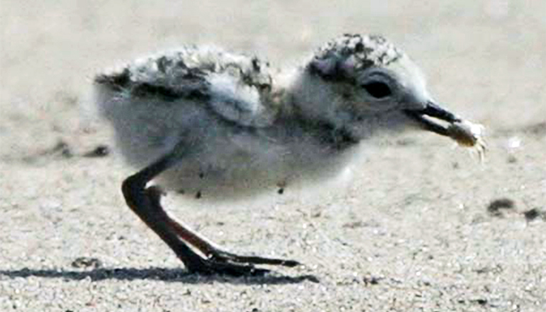 The image shows a snowy plover on the beach.