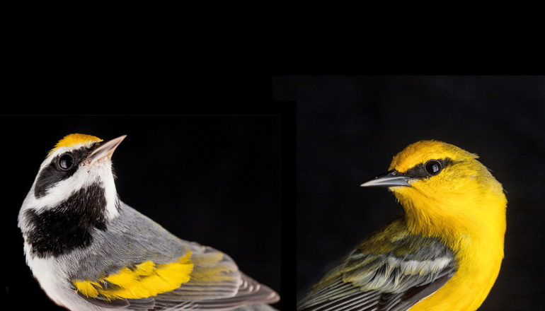two black, gray, yellow birds face away from each other on black background