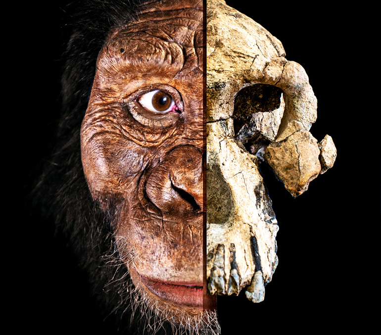 On the right side, the MRD skull. On the left, a facial reconstruction of Australopithecus anamensis