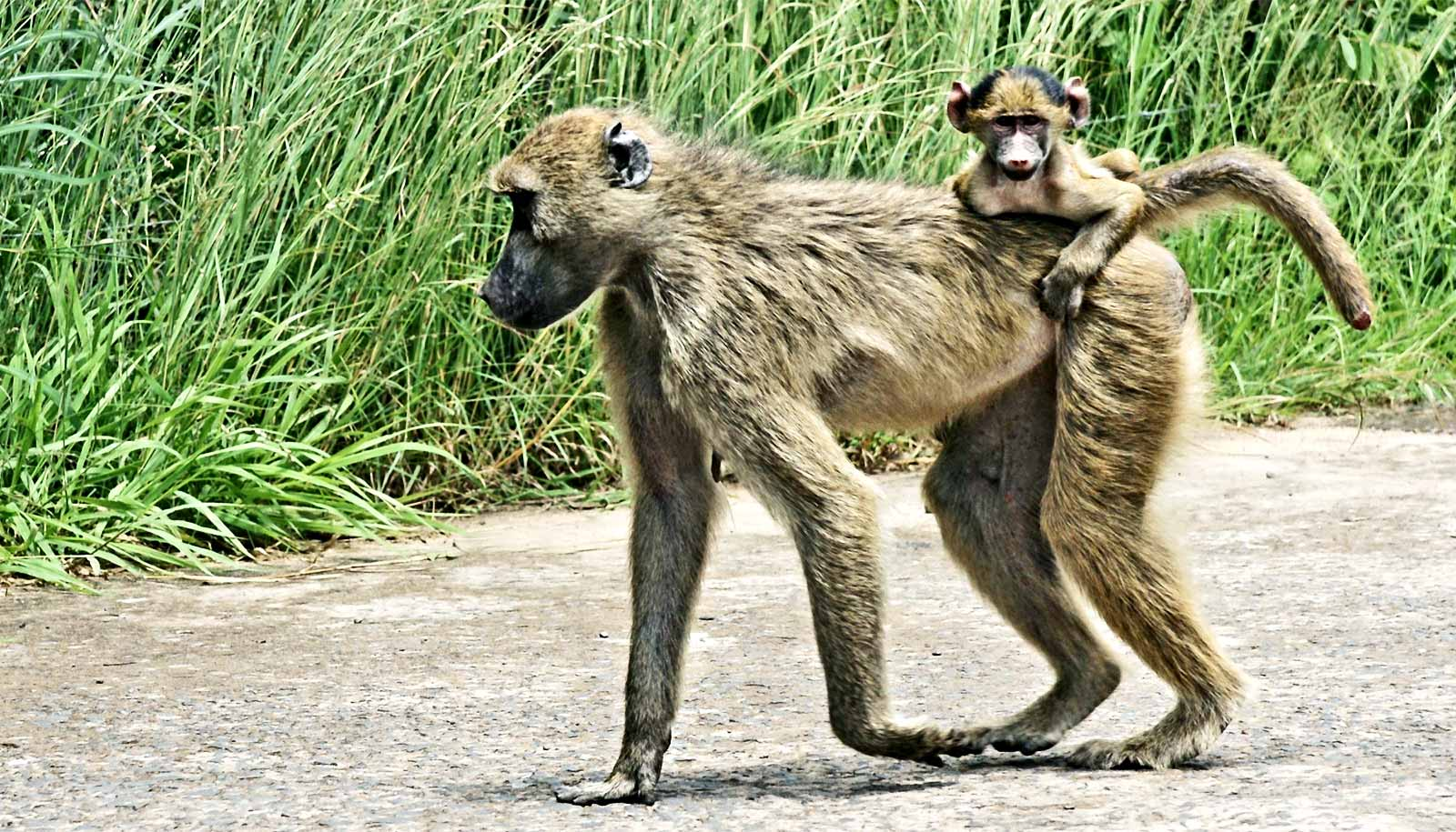 Early hardships of baboon moms take a toll on kids