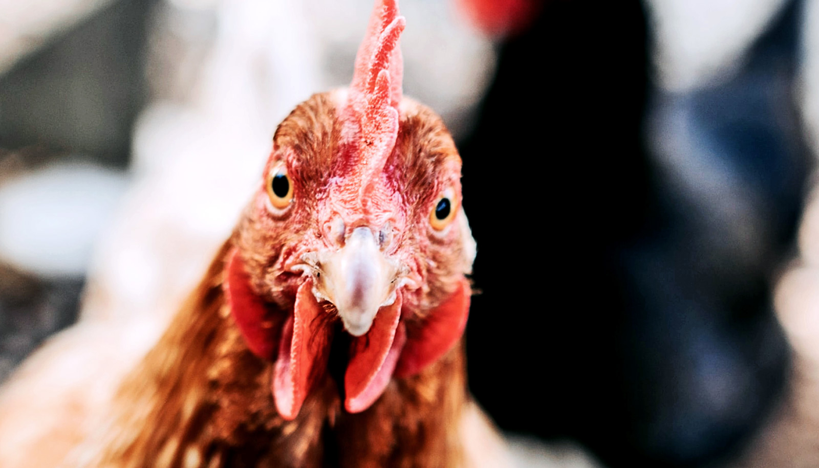 4 do's (and 1 don't) about keeping chickens in your yard