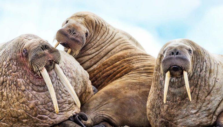 three walruses in a pile