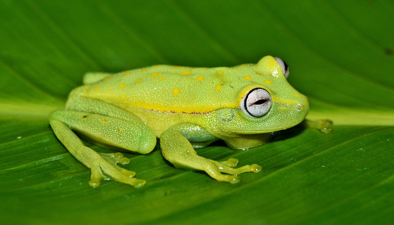 Team finds deadly fungus in Amazon frogs for the first time