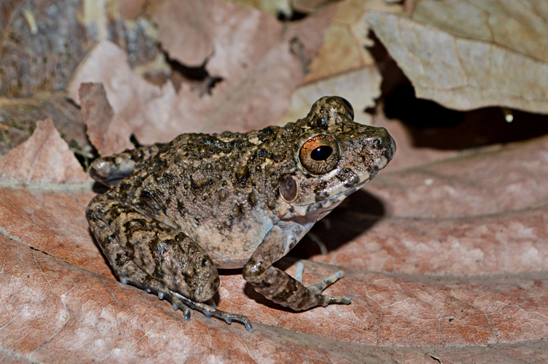 The speckled brown frog sits on a leaf