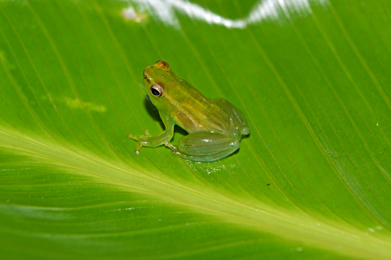 A small, bright green frog sits on a green leaf