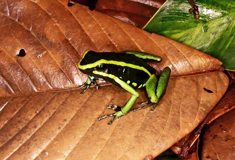 A black and green frog sits on an orange leaf