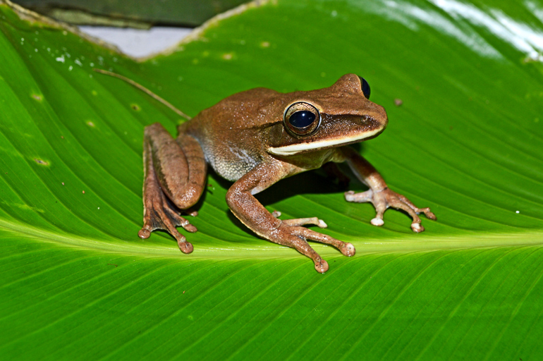A brown frog sits on a green leaf