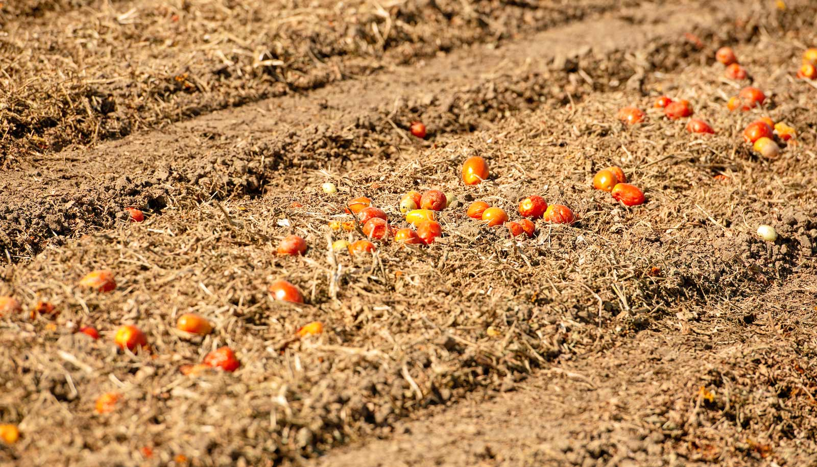 line of fallen tomatoes in empty field