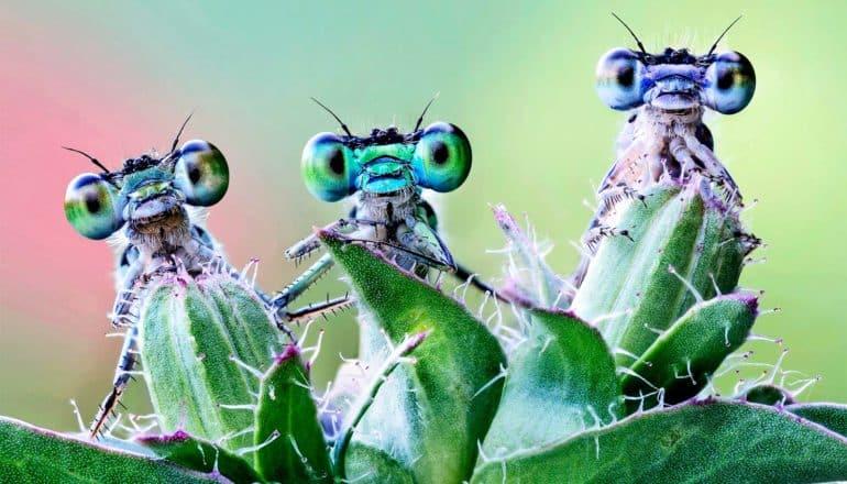 Three damselflies peer over a plant