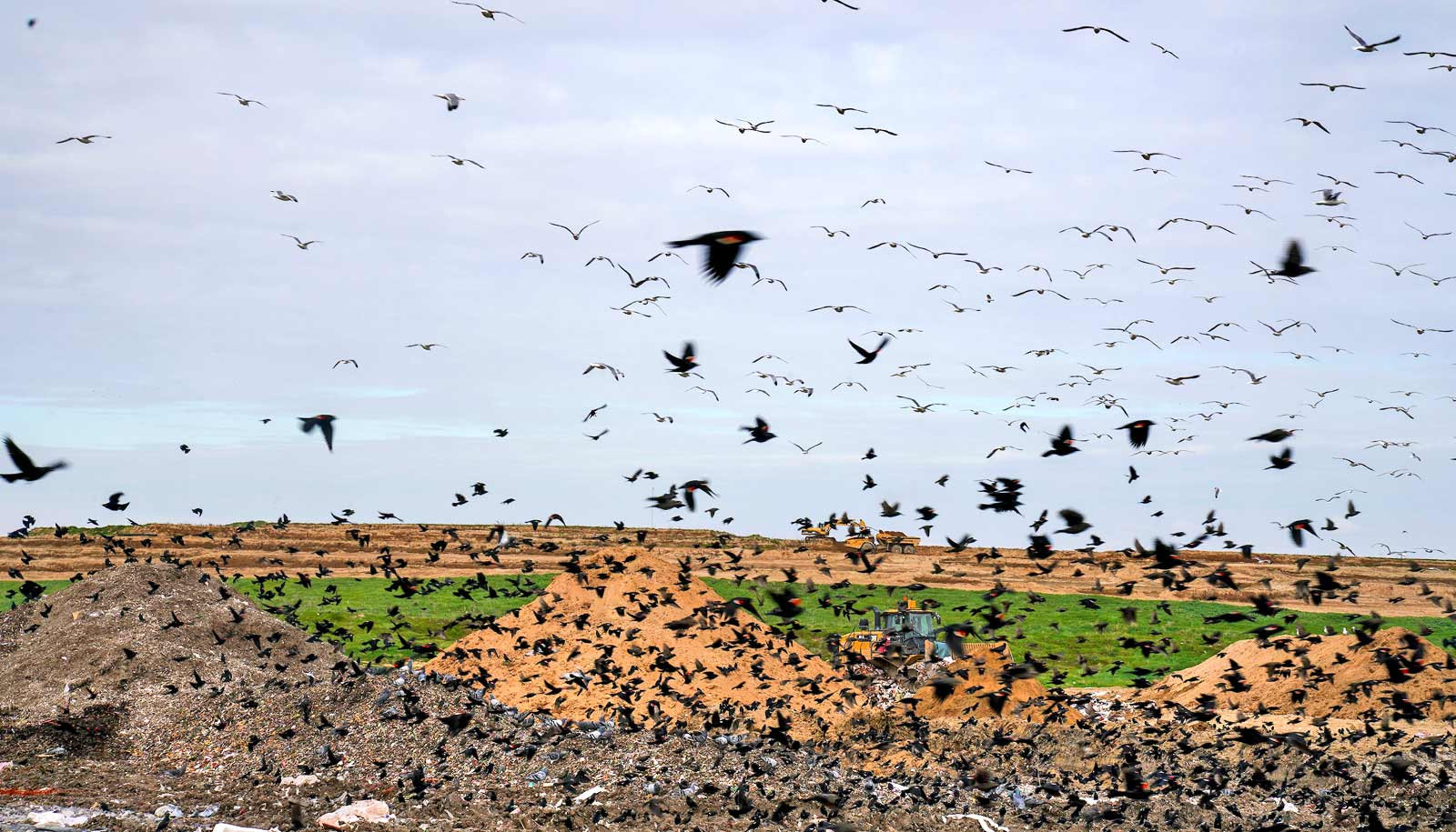 flock of red-winged blackbirds at landfill