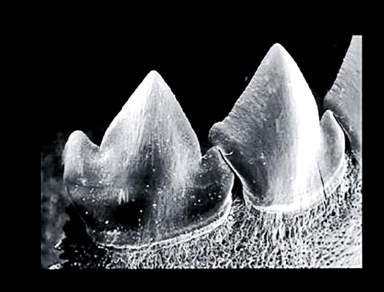 Interlocking piranha teeth show up in black and white