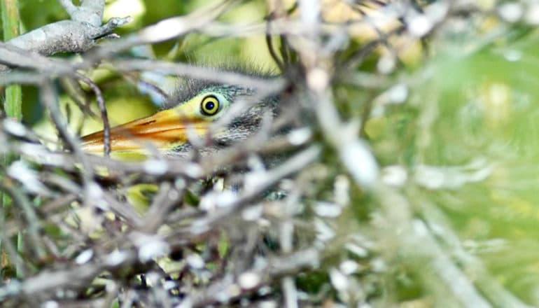 baby bird peeks from between branches