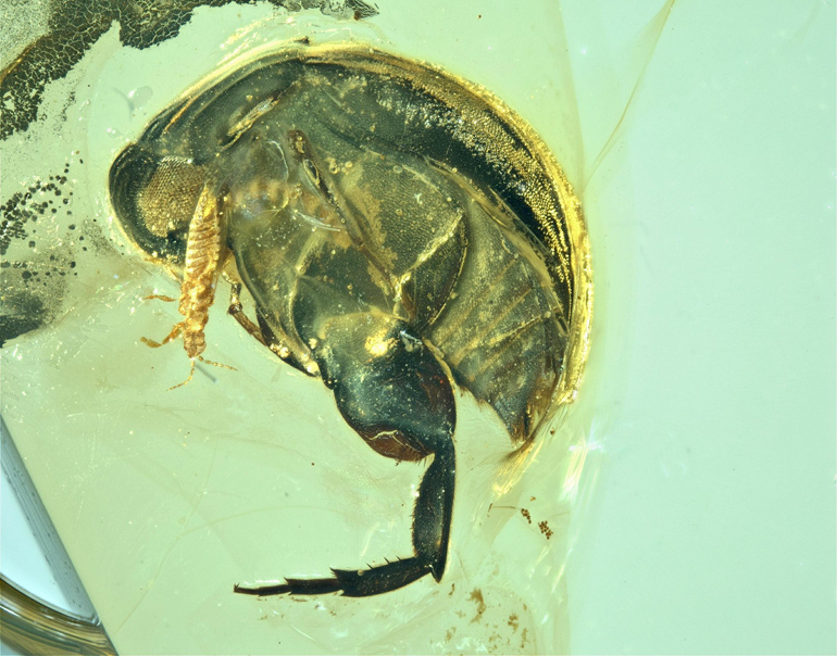 beetle in amber with hairy leg visible