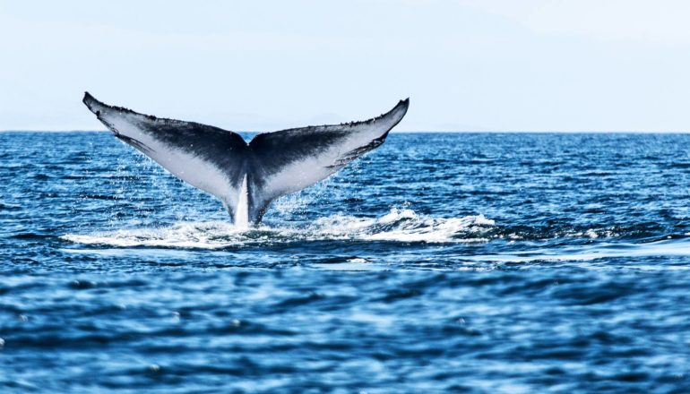A blue whale's tail pokes above the surface of the water as the whale dives