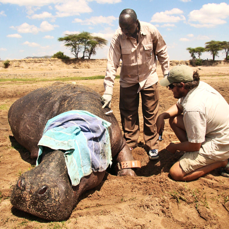Two researchers stand over a hippo with a towel over its face as they collar its ankle