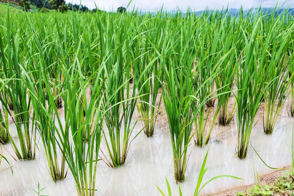 Climate Change Could Double Toxic Arsenic in Rice