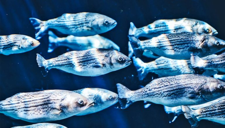A group of pale white-looking fish swim in dark blue waters, with light from above shining on them