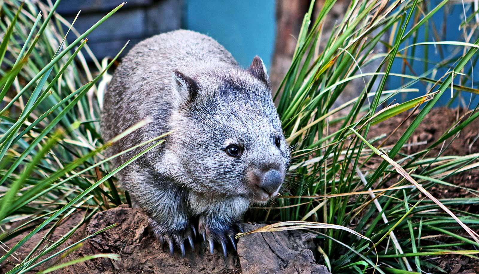 Wombat skulls are changing in response to food