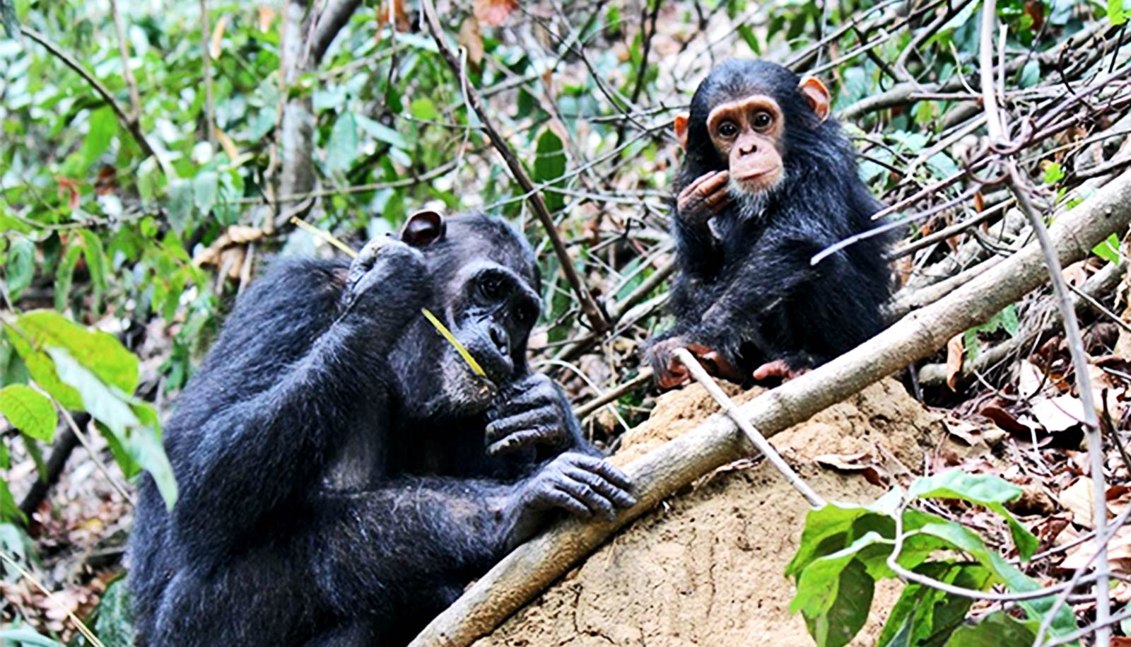 Chimps that use tools for complex tasks pass those skills on