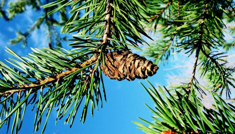 A pine cone sits on a conifer tree branch covered in needles against a bright blue sky