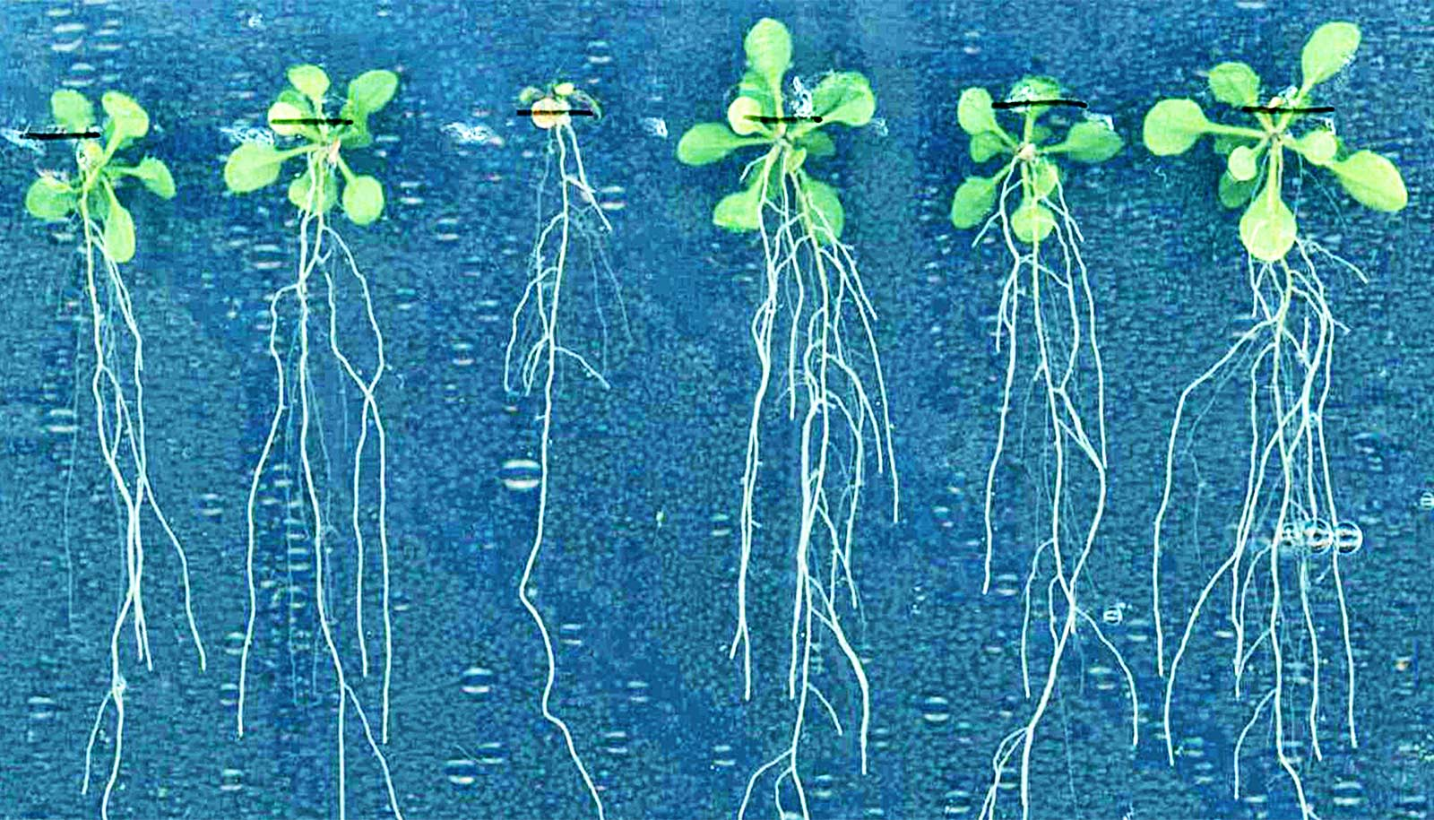 Hormonul care orientează rădăcina spre sursele de apă există!