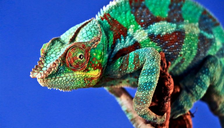 A green, striped chameleon sits on a branch against a deep blue background