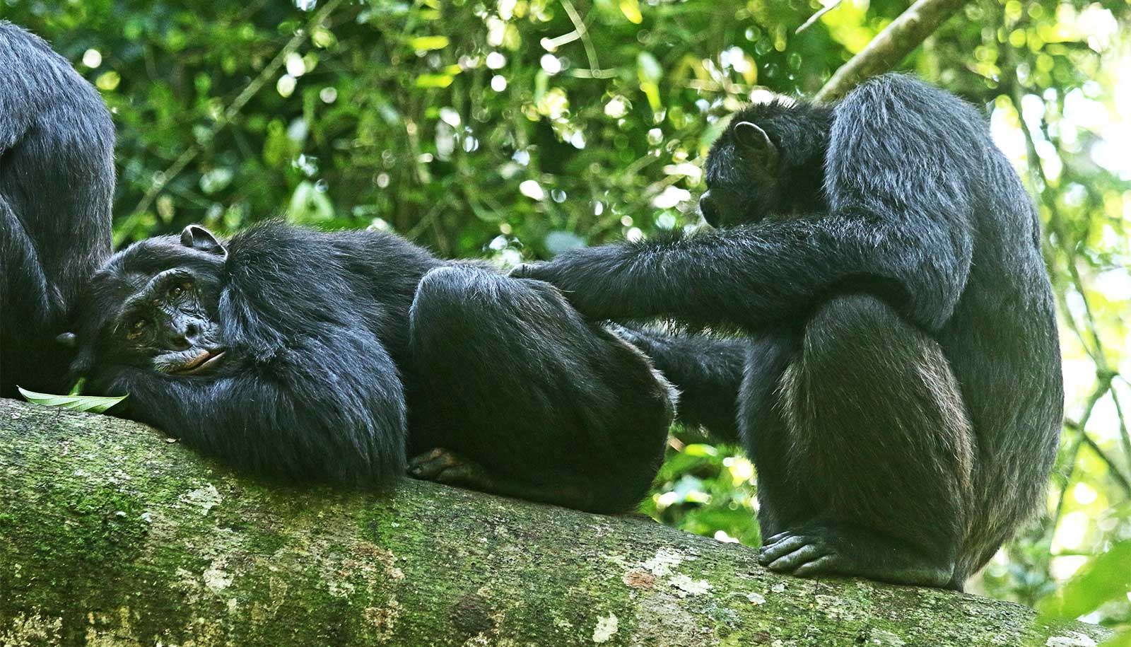 Chimp sons like to hang with fathers and brothers