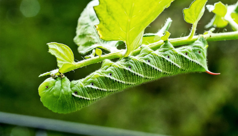 A bright green caterpillar hangs upside-down while eating a tomato plant, with light passing through its leaves (crops concept)